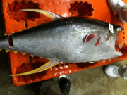 grading-yellowfin-tuna